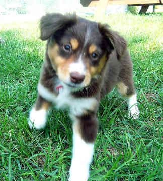 miniature australian shepherd | Dog Blog | Dog Treats » Miniature Australian Shepherd