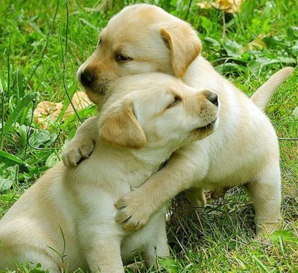 Hugs: Dogs Training, Friends, Yellow Labs Puppies, Little Puppies, Need A Hugs, Cutest Dogs, Labrador Puppies, Little Dogs, Animal