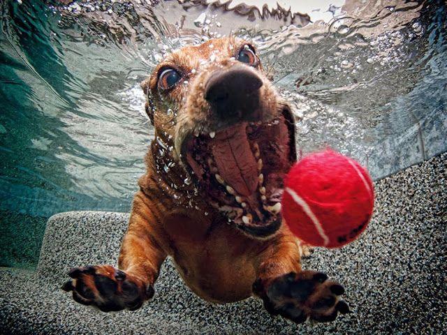 Sет Casteel «Underwater Dogs». One of the most successful photo projects in 2012. Один  из наиболее успешных фотопроектов 2012 года - большая серия креативных и весёлых фотографий американского фотографа Сета Кастила  под названием «Подводные собаки».