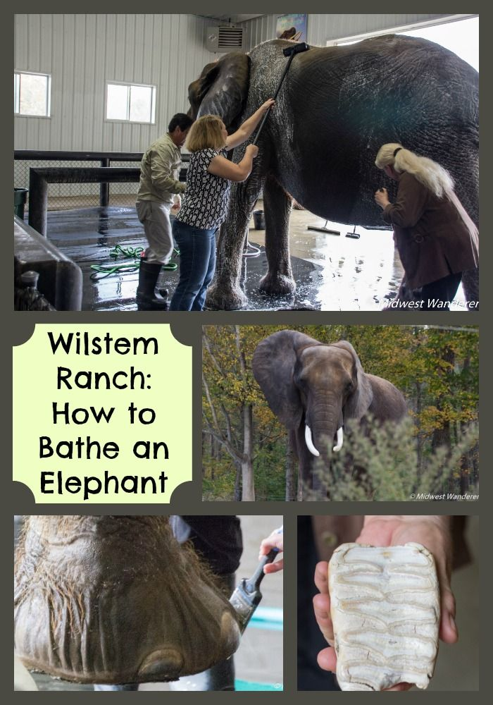 Help bathe an elephant at Wilstem Ranch Elephant Retreat near French Lick, Indiana.