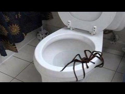 Giant Spider! World's Biggest Spider Giant Huntsman Spider - YouTube