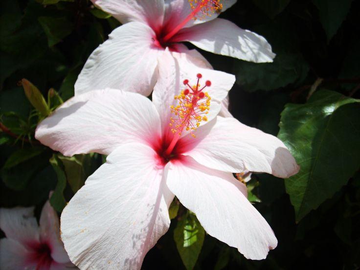 Hibiscus flower, Tunisia