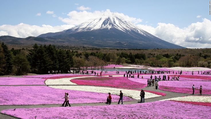 "With Mount Fuji in the background, some 800,000 stalks of shibazakura or ""moss phlox"" cover 2.4 hectares of land in a carpet of pink, white and purple. Thousands travel to the Fuji Five Lakes area for the festival celebrating the flower's first bloom, which runs April 18 to May 31 this year.<em><a href=""http://www.shibazakura.jp/eng/"" target=""_blank""><br />Fuji Shibazakura Festival<em></em></a>, 212 Motusu, Fujikawaguchiko..."