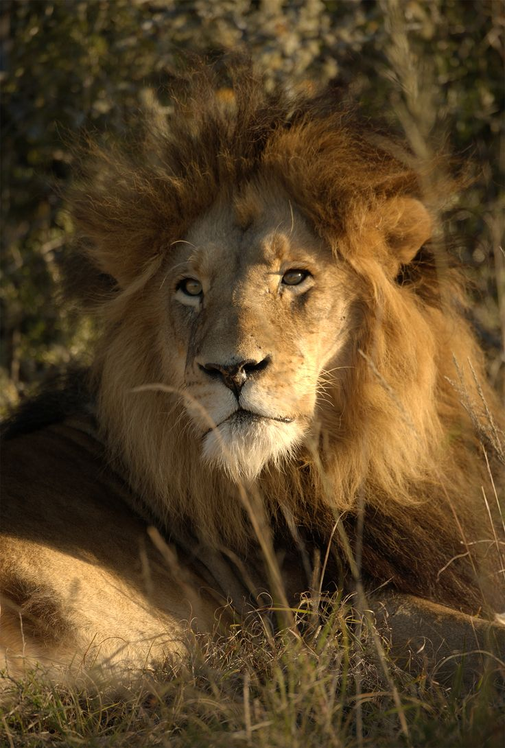 Magnificent male lion on Amakhala Game Reserve.