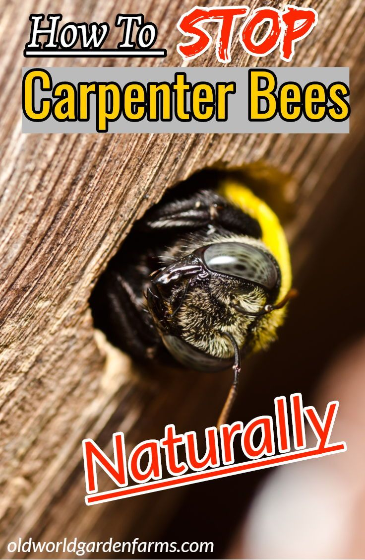 76dfc3085f761bf654f1bb970946ca98 - How To Get Rid Of Carpenter Bees Outside Naturally