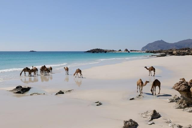 #Camels on the Beach, Dhofar - #Oman. view on FB https://www.facebook.com/OmanPocketGuide   photo: Oman Tourism