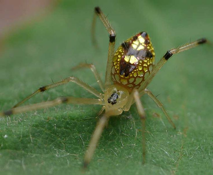 Sequined Spider (Thwaitesia argentiopunctata) by Robert Whyte: This lovely spider of the Queensland rainforest, harmless to humans,  has mirrored surfaces which scatter light and makes it hard to see. #Spider #Sequined_Spider