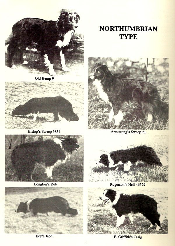 Border Collie The Northhumbrian Type