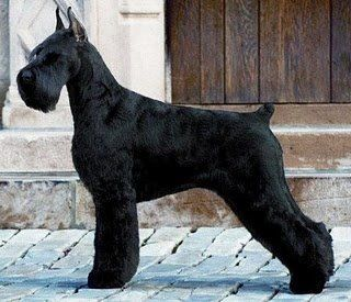 "Ch. Gallilees Pure of Spirit, ""Spirit"" top winning Giant Schnauzer of all time."