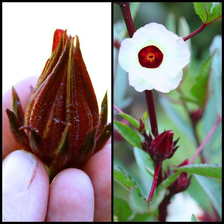 hibiscus - Pesquisa Google