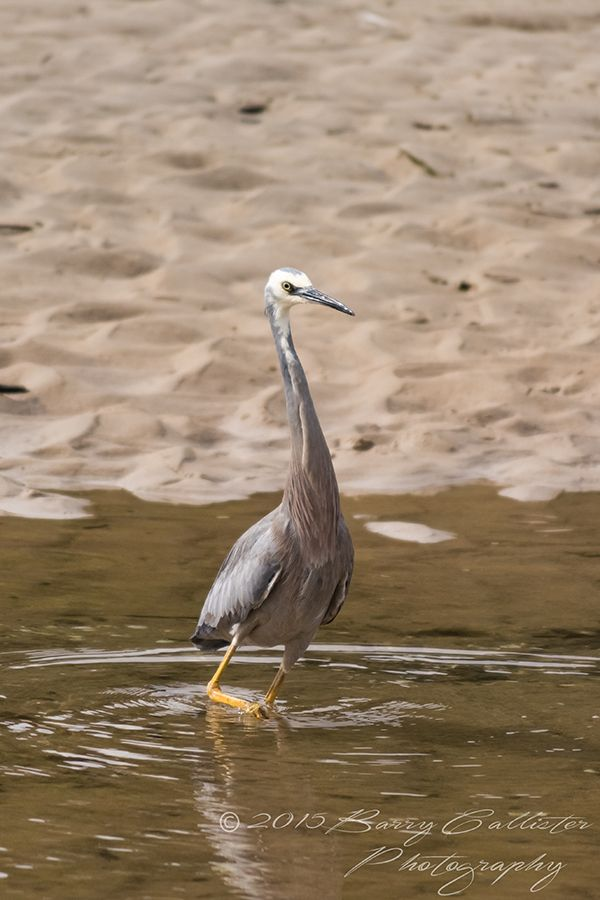 A White Faced Heron wading through the shallows at Screw Creek, Inverloch, Victoria, Australia.