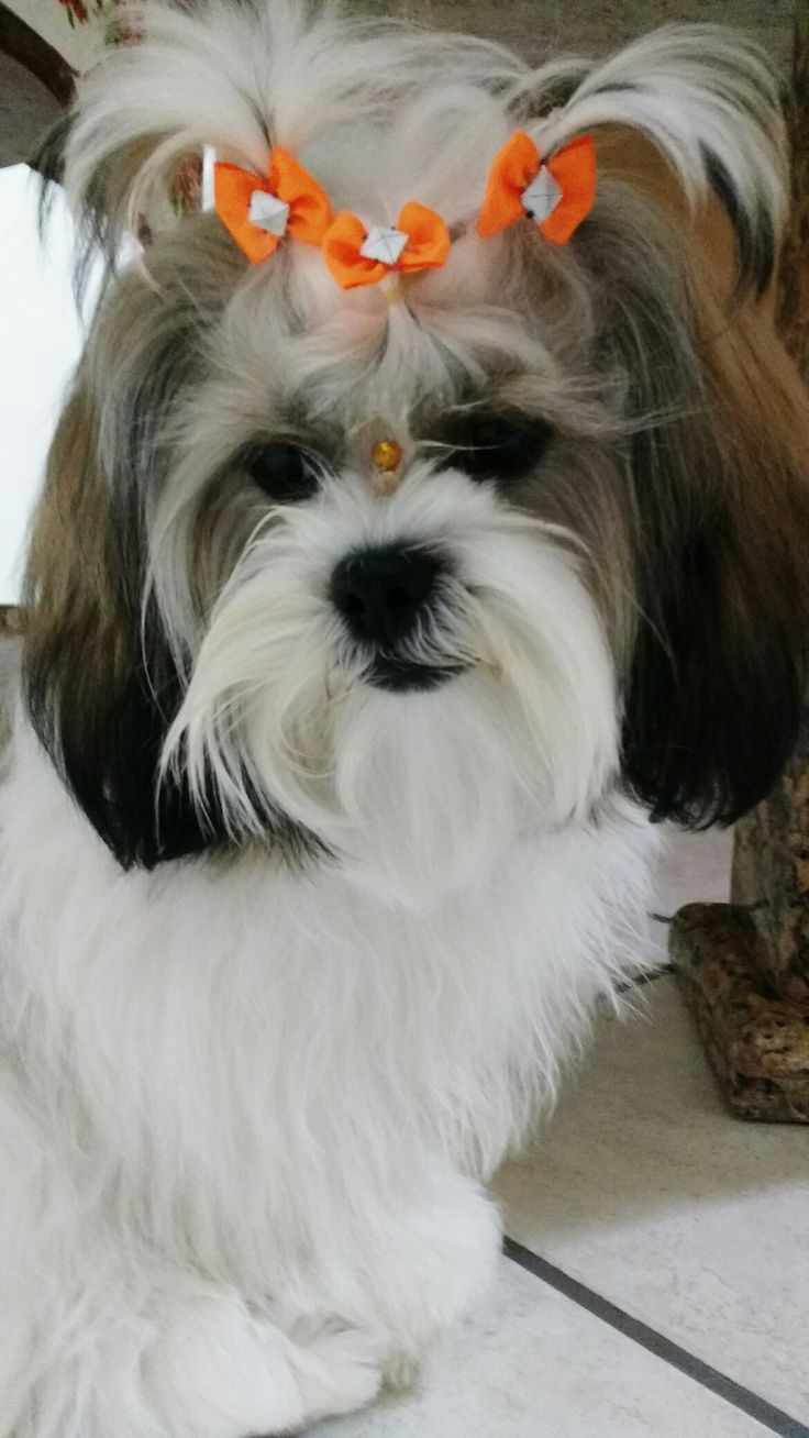 shih tzu puppies for sale oregon 1000 ideas about lhasa apso on pinterest shih tzu shih 700