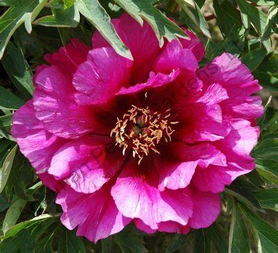 Morning Lilac peony