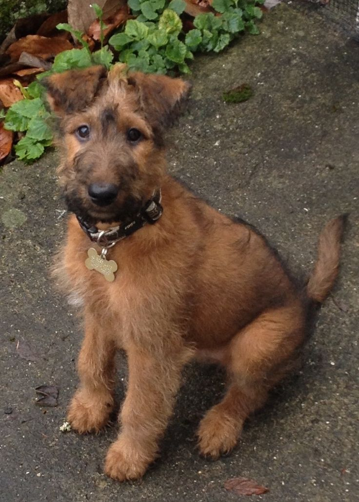 Idea by sylvia lackner on irish terrier irish terrier