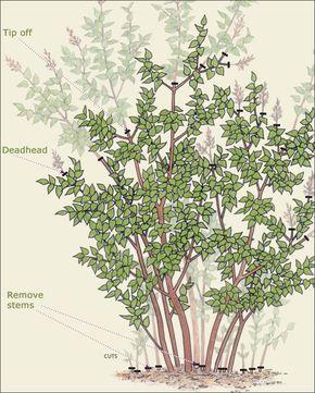 78 best spring shrubs bushes images on pinterest. Black Bedroom Furniture Sets. Home Design Ideas
