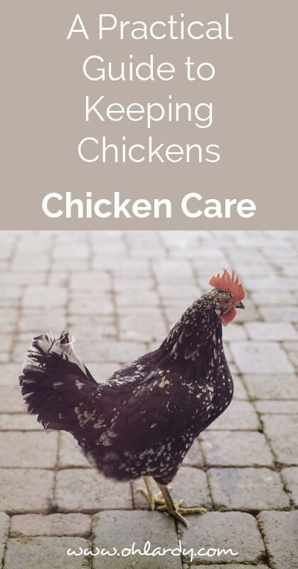 A practical guide to keeping chickens , chicken care - ohlardy.com