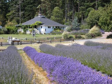 Pelindaba Lavender Farm. Friday Harbor, San Juan Island. I plan to visit when I'm on the island. :)