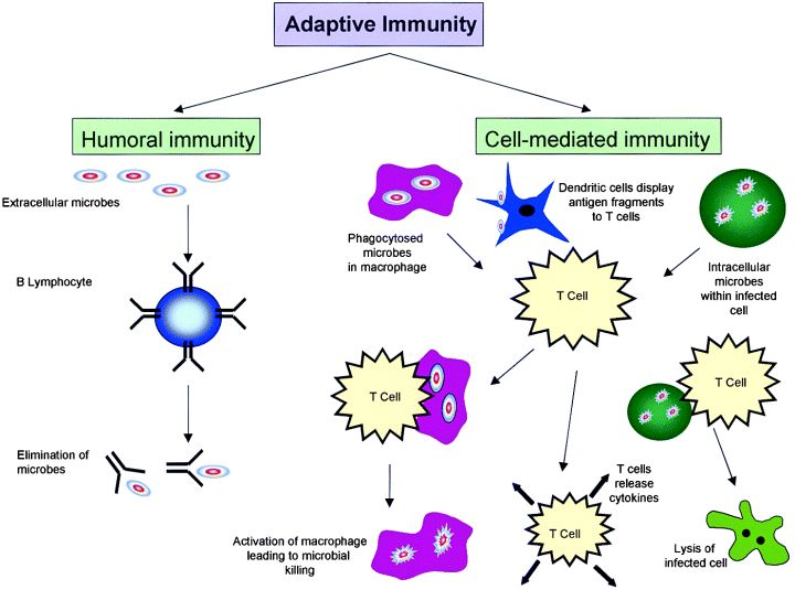 17 Best images about Immunology on Pinterest | Mhc class ...
