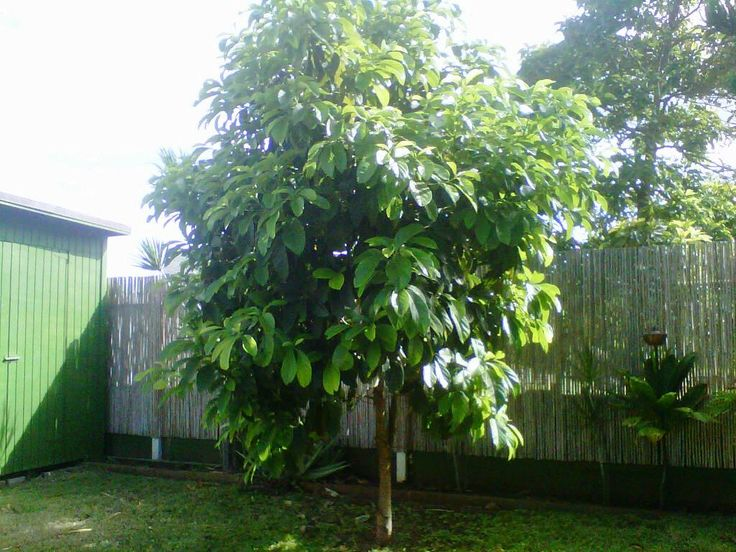 One day my avocado tree will look like this one it 39 s hard for Miniature shade trees