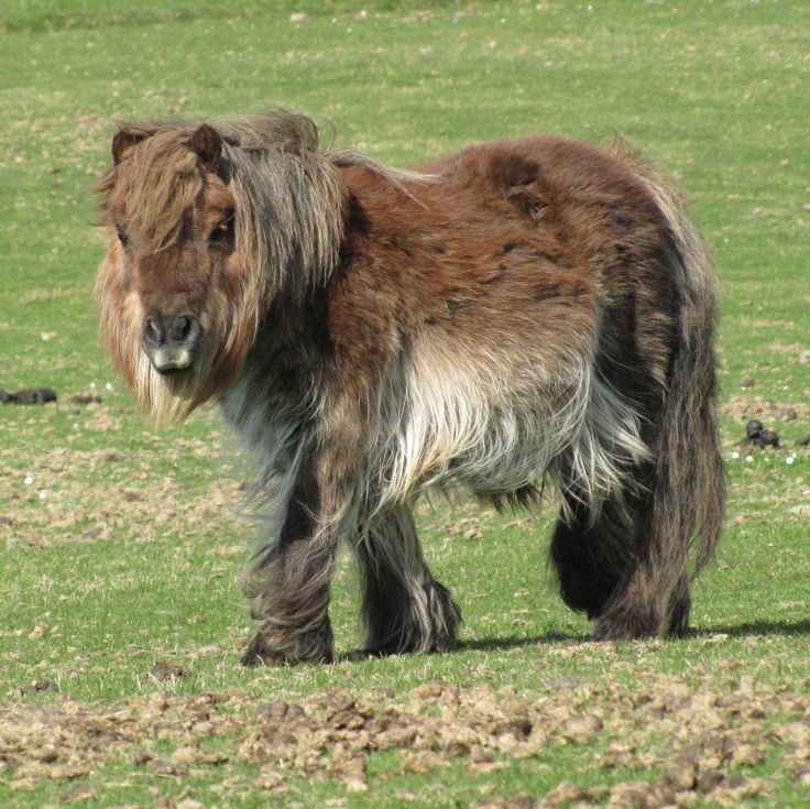 The hairiest horse. Shetland pony, Shetland.  hmmm, wonder if that hair could be used to knit/crochet with? maybe a blend?