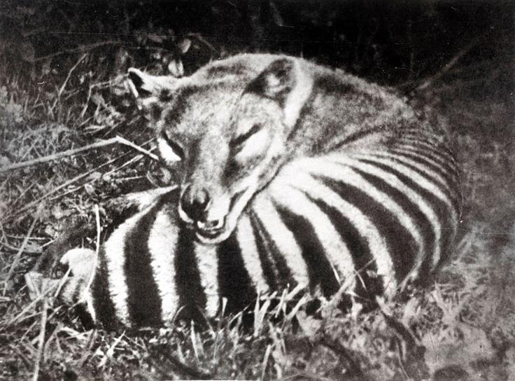 Tasmanian wolf - Jurassic Park? Scientists Want to Resurrect Extinct Animals - LoveThesePics [30 PICS]