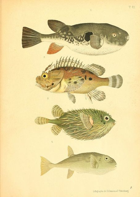 Blowfish: Sea Life, Balasheva 1886, Paper Design Crafts, Des Ravag, Atlas Des, Fish Illustrations, Photo, Des Poissons, Poissons Vénéneux