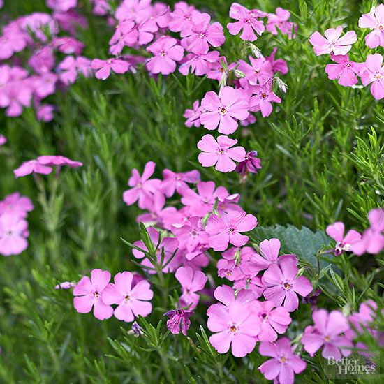 The jewel-like flowers of Moss Phlox, Phlox subulata, open early in the season, often appearing alongside daffodils and tulips. This rugged little ground cover rarely grows over 10 inches tall and does best in full sun and well-drained soil, making it an excellent candidate for rock gardens or slopes. Colors include violet, pink, white, blue, and bicolors. The plants are also deer resistant. Grows in Zones 3-9./