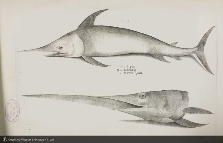 Swordfish (Xiphias gladius) from Salviani's Aquatilium animalium historiae ID: b1180636_4