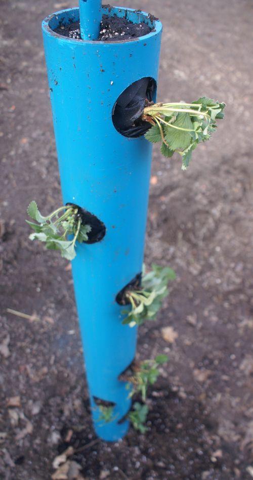 terminou plantador de pvc com plantas de morango