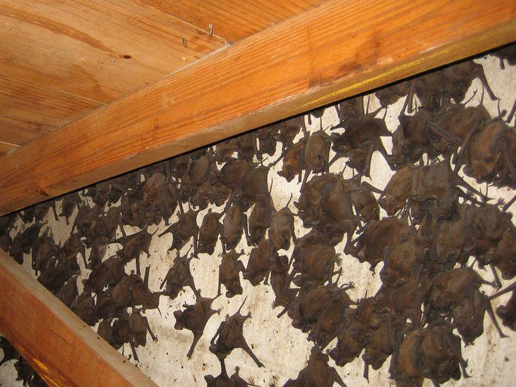 Get rid of bats with bat repellent bat repellent