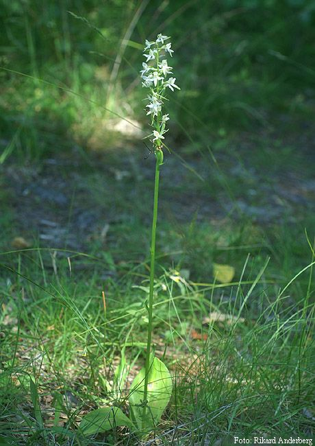 Nattviol är ganska vanlig och förekommer från Skåne till Jämtland. Den växer i ängar och öppna skogsmarker.