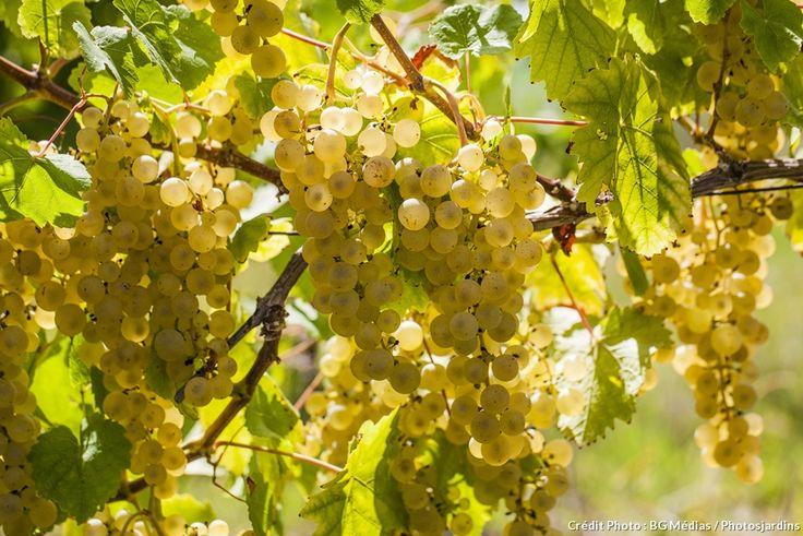 Cueillir de délicieuses grappes de grains n'a rien de compliqué, grâce à ces 5 astuces qui font mûrir le raisin à la perfection !