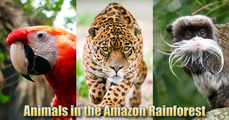 Animals That Live in the Amazon | Animals In The Amazon Rainforest: Pictures, Info & Facts