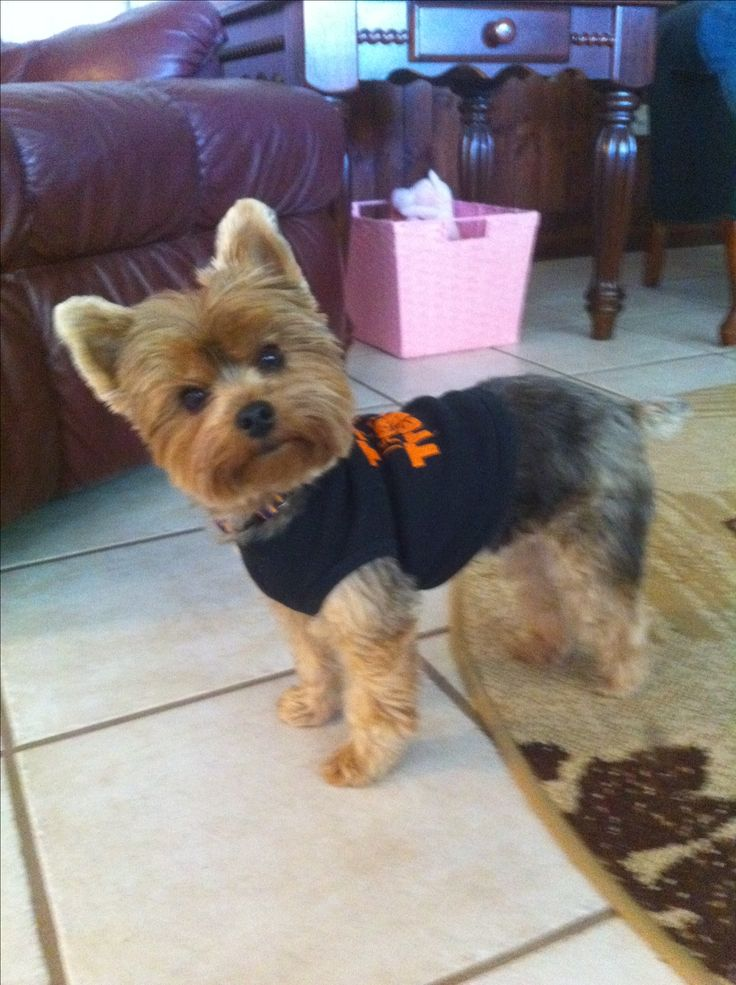 Yorkie Haircuts Pictures Summer Cuts | 356 best images