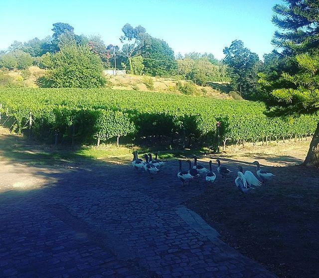 Taking a morning stroll through the vineyards. #LePommier
