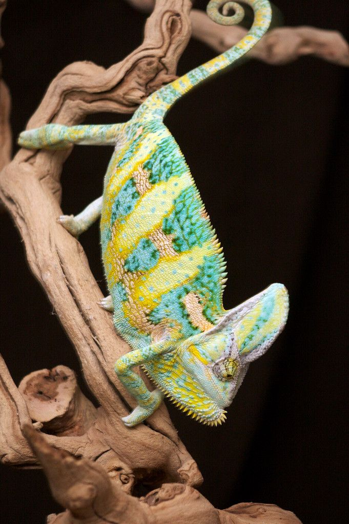 Store Items - Boss Status Bullies and Chams - Tri Color American Bully and Panther Chams, Chameleons, Panther Chameleons for Sale, Chameleon Care