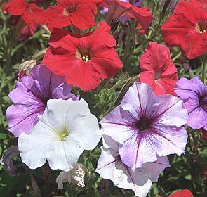 25 best ideas about petunia care on pinterest lavender. Black Bedroom Furniture Sets. Home Design Ideas
