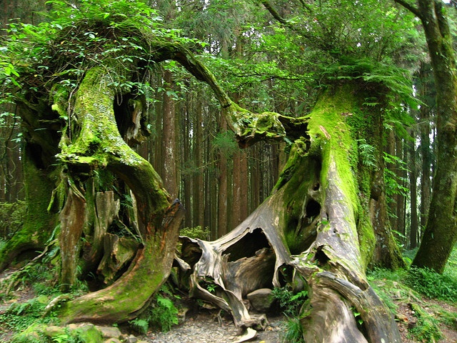 Lovers Trees in Alishan, Taiwan: Forests, Favorite Places, Nature, Wood, Green, Trees, Beauty, Holding Hands