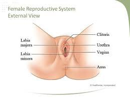 The 9 best sex ed images on pinterest female reproductive system female reproductive system google search ccuart Image collections