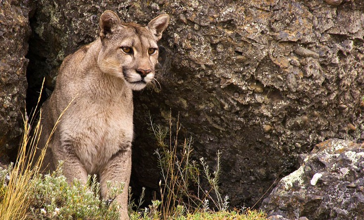Puma Season Starts in Torres del Paine, Chile | Explora Blog - April 4, 2013