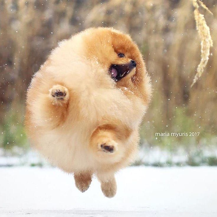 pin by michelle huang on puppys pinterest pomeranian dogs and