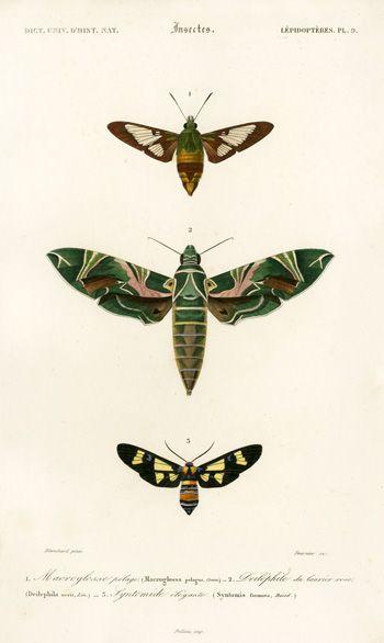 D'Orbigny Butterflies 1849