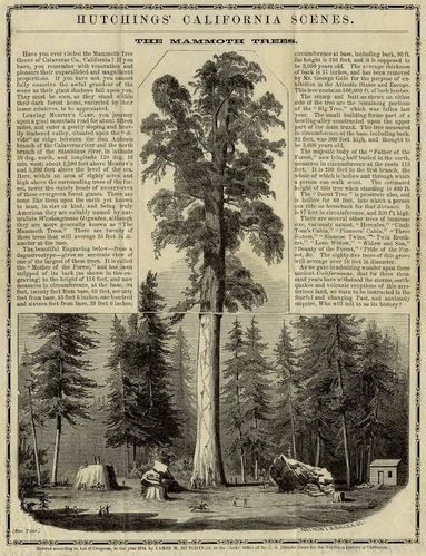"""The Mammoth Trees,"" Lithograph, 1854.  Hutchings California Scenes 