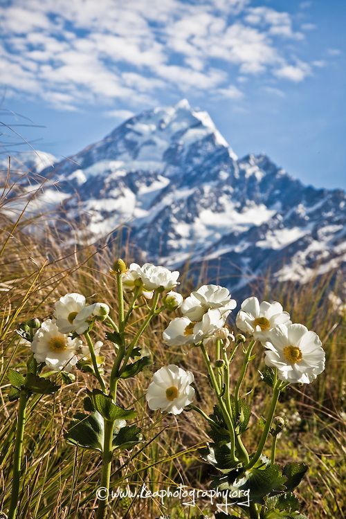 Mount Cook Lily, with Mount Cook in the background.