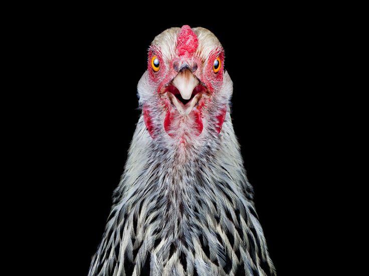 A Light Brahma hen