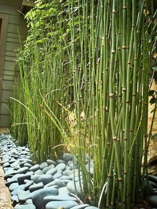 15 X Horsetail Reed Bamboo Looking Zen Garden U0026 Pond Plants