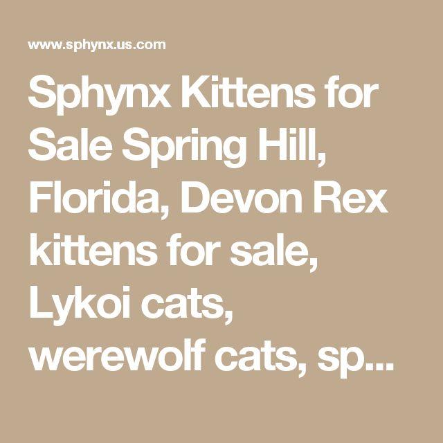 Sphynx Kittens for Sale Spring Hill, Florida, Devon Rex kittens for sale, Lykoi cats, werewolf cats, sphinx cats, sphynx cats, hairless cats, curly coated cats