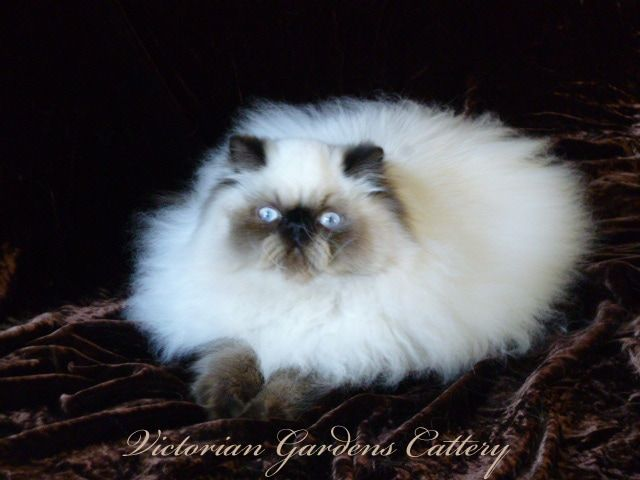 Victorian Gardens Cattery is pleased to provide to qualified adoptive homes, the following Persian and Himalayan kittens for sale.