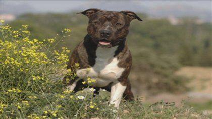 La Municipalité de Bromont renonce à interdire les chiens de race pitbullet ses croisements sur son territoire. Elle va d'ailleurs modifier le règlement controversé, adopté en janvier dernier.