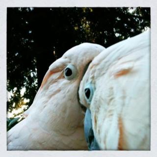Gorgeous moluccan cockatoos